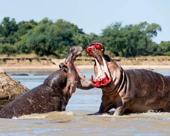 https://static.tvtropes.org/pmwiki/pub/images/0_caters_lipstick_hippo_fight_01.jpg