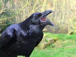 https://static.tvtropes.org/pmwiki/pub/images/1280px_raven_croak.jpg