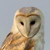 https://static.tvtropes.org/pmwiki/pub/images/550px_barn_owl.jpg