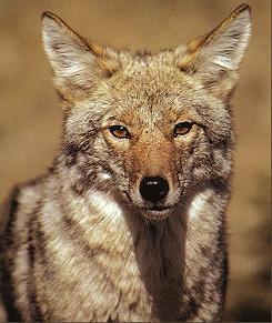 http://static.tvtropes.org/pmwiki/pub/images/Coyote_Portrait_I_1282.jpg