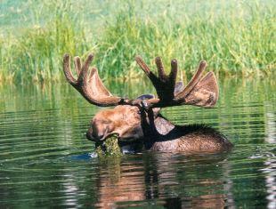 http://static.tvtropes.org/pmwiki/pub/images/Moose.jpg