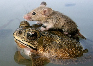 http://static.tvtropes.org/pmwiki/pub/images/Mouse-on-a-Frog_9476.jpg