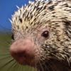 https://static.tvtropes.org/pmwiki/pub/images/brazilian_porcupine.png