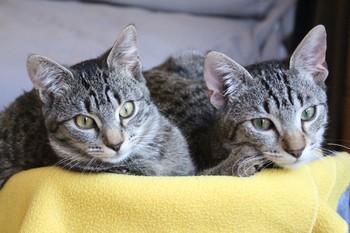 https://static.tvtropes.org/pmwiki/pub/images/cat_animals_eyes_cat_eyes_animal_feline_two_cats_tabby_cat_1162068jpgd.jpg