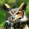 https://static.tvtropes.org/pmwiki/pub/images/daybreaks_gentle_caress_majestic_great_horned_owl_in_the_forest_inspired_nature_photography_by_shelley_myke.jpg