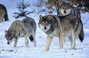 http://static.tvtropes.org/pmwiki/pub/images/european-wildlife-wolf-pack-in-winter_copy_3186.jpg