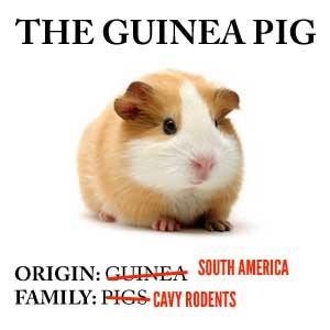 http://static.tvtropes.org/pmwiki/pub/images/guinea-pig_8669.jpg