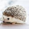 https://static.tvtropes.org/pmwiki/pub/images/hedgehog.png