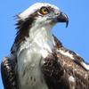 https://static.tvtropes.org/pmwiki/pub/images/osprey.png