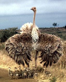 [Image: ostrich_4113.jpg]