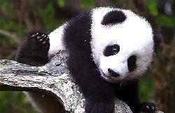 http://static.tvtropes.org/pmwiki/pub/images/panda-gigante.jpg