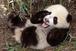 http://static.tvtropes.org/pmwiki/pub/images/pandas_1.jpg
