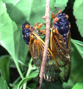 http://static.tvtropes.org/pmwiki/pub/images/periodical-cicada_3608.jpg