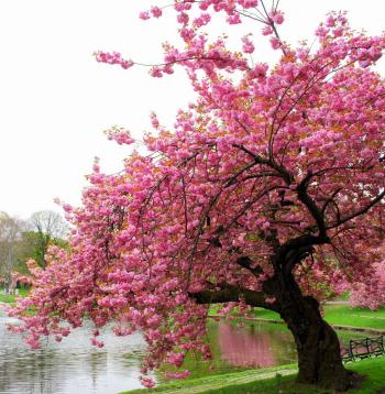 https://static.tvtropes.org/pmwiki/pub/images/pink_cherry_blossoms_9789.jpg