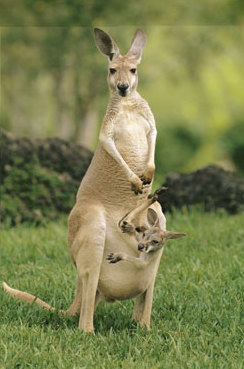 https://static.tvtropes.org/pmwiki/pub/images/rsz_1087017ea_captive_red_kangaroo_carrying_her_youngster_in_her_pouch_posters.jpg