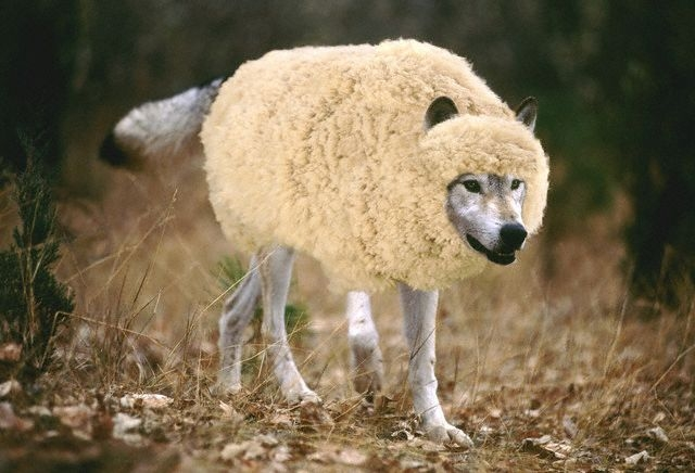 the phrase wolf in sheeps