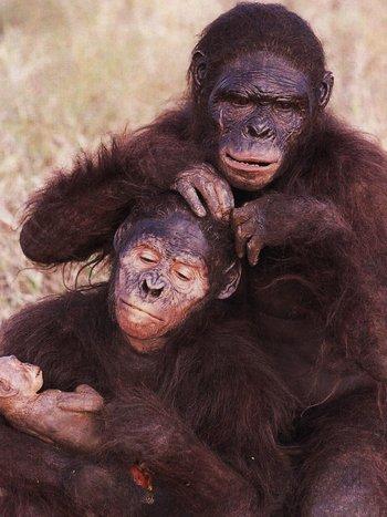 https://static.tvtropes.org/pmwiki/pub/images/wwc_australopithecus.jpg